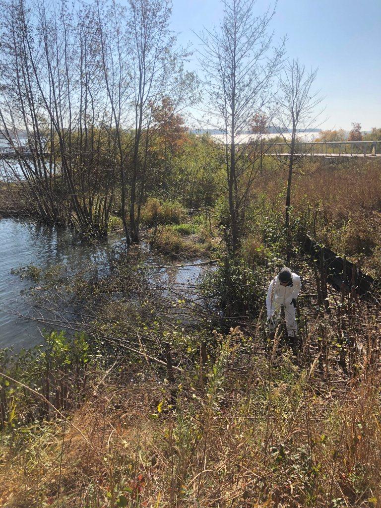 Technician treating invasive tree species in coastal habitat