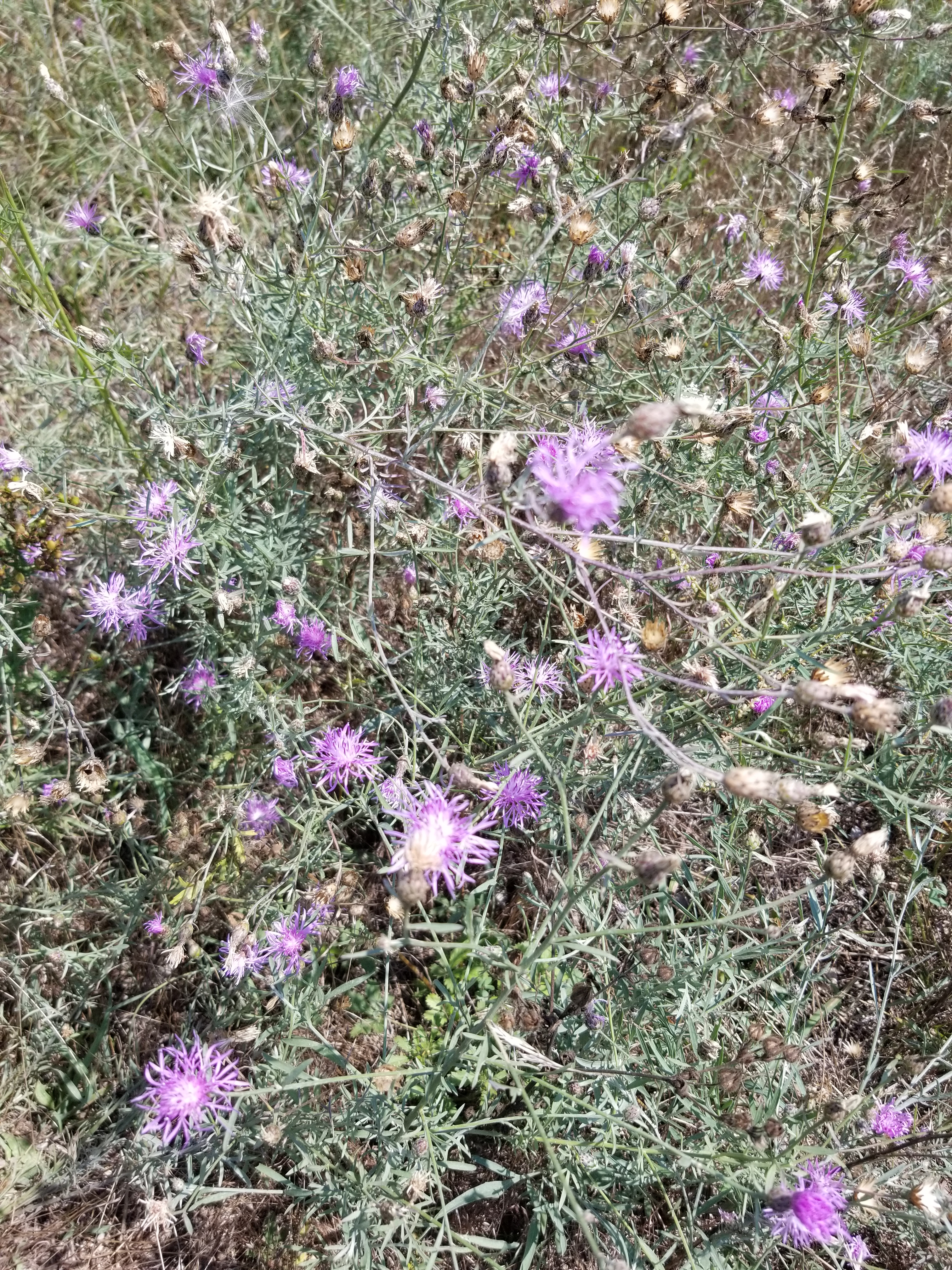 Spotted knapweed flower and stem